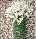 Exotic Plants Crassula columnaris - sinónimo: Crassula mitrata - 10 semillas