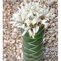 Crassula columnaris - sinónimo: Crassula mitrata - 10 semillas