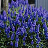 Van Zyverden Grape Hyacinths Set of 25 Bulbs