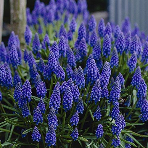 Van Zyverden Grape Hyacinths Set of 25 Bulbs by VAN ZYVERDEN