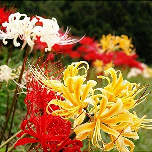 Nianyan Lycoris Magical Mystery Collection - Hardy Surprise Lily 3 Large Bulbs - 10/12 cm Deer Resistant & Cold Hardy (Bulbs Collection 3)