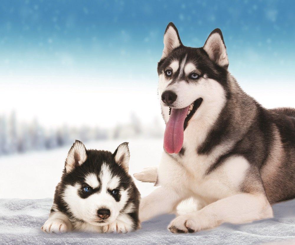 """Buy Husky Dog Fleece Throw Blanket 50"""" x 60"""" Online at Low Prices ..."""