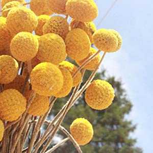 Beau Jour Dried Craspedia Yellow Billy Balls 40 Stems, 1-1.5 inch in Diameter, Dried Flower Branch for DIY Flower Arrangements Home Decor