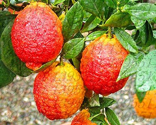 Bonsai Plants 50 PCS Seeds Red Lemon Fruit Trees Garden Organic Succulent 2019 N