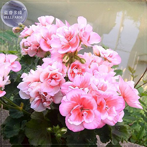 BELLFARM Geranium Bonsai Bright Pink & Red Double Petals PlantSeeds(no soil), 10pcs/pack, big blooms home garden