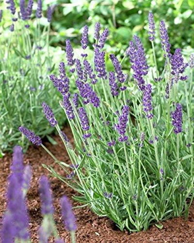 Davids Garden Seeds Herb Lavender Vera Sl5432  Purple  200 Heirloom Seeds