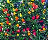 15ct of Prairie Fire Pepper Seeds, Ornamental Pepper Seed, Non-Gmo Heirloom Pepper
