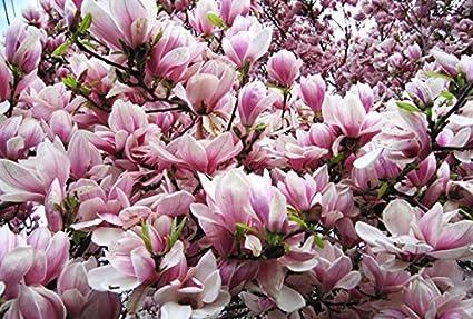 Amazoncom Diamond Garden Pink Magnolia Tree Seeds 55 Seeds