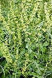 Curly Dock - Yellow Dock - Rumex crispus - Live Plant - Organically grown by Yumheart Gardens