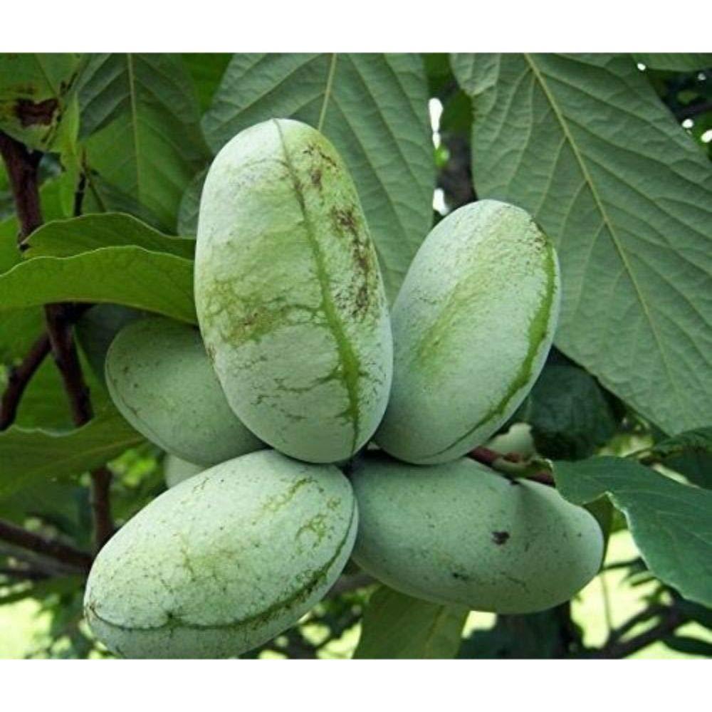 Paw Paw Trees Banana Fruit Asimina Triloba Outdoor Garden Gallon Pot Plant V3 by iniloplant (Image #2)