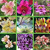 HATCHMATIC Seeds Package: Rare Peruvian Lily Seeds - Alstroemeria Perenial Lily Seed - 240 Pcs [Mixed]