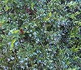 """Biblical Greek Myrtle Plant - Myrtus communis - 4"""" Pot - Roman Myrtle"""