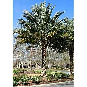 10 Seeds Phoenix dactylifera Date Palm 2