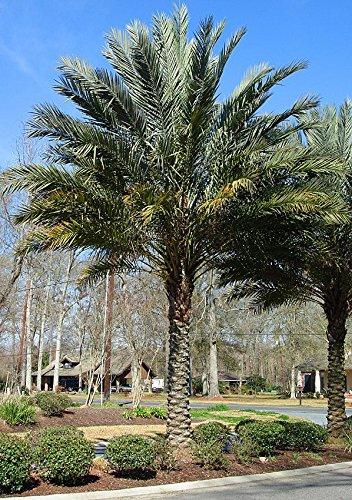 Palm 10 Seeds - 10 Seeds Phoenix dactylifera Date Palm