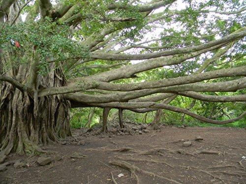 Home Decor Photo Art Prints Haleakala National Park Hawaii Banyon Tree 115
