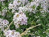 Soapwort Saponaria officinalis 1,000 Seeds