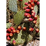 TROPICA - Prickly Pear (Optuntia / Winterhardy mixture) - 20 Seeds - Cacti / Succulents