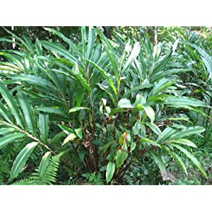 5 CARDAMON CARDAMOM Alpinia Oxyphylla HERB Flower Shrub Tree Seeds