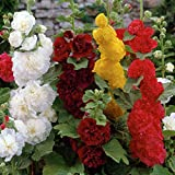 Van Zyverden Mixed Hollyhocks Roots (Set of 10)