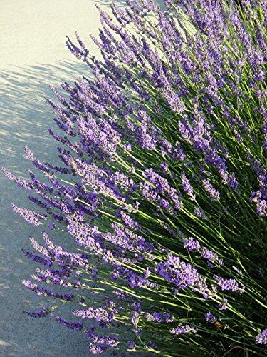 Grosso French Hybrid Lavender Herb - Perennial - Live Pla...