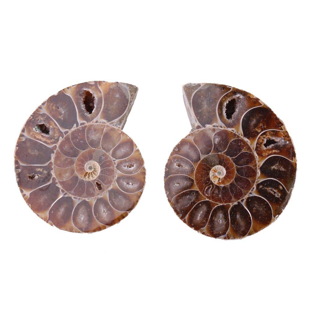 2Pcs Fossil Specimen, Ammonite Fossil Specimen Shell Madagascar Natural Stones and Minerals(diameter4cm) Hilitand