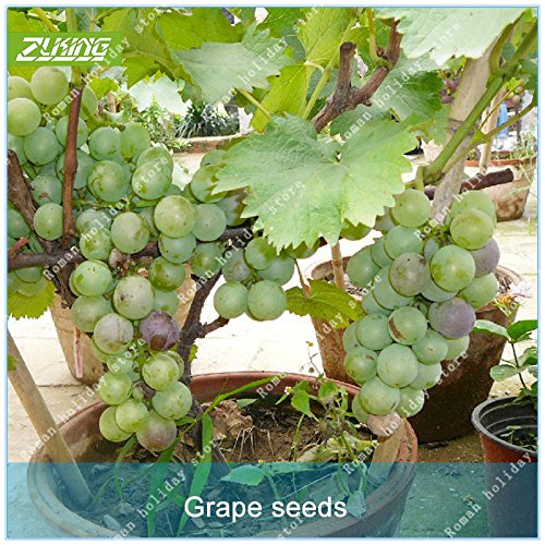 ZLKING 50 Pcs Chinese Grape Bonsai Fruit Seeds Sweet And Delicious Fresh Organic Non-GMO Easy To Grow Seeds Plant