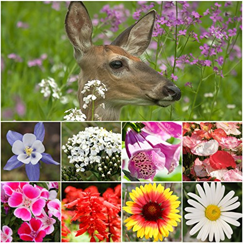 Bulk Package of 30,000 Seeds, Deer Resistant Wildflower Mixture (100% Pure Live Seed) Non-GMO Seeds by Seed Needs ()