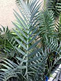 Encephalartos Lehmannii OVERGROWN 6-7 LEAVES Ice Blue Cycads Nursery Cold Hardy