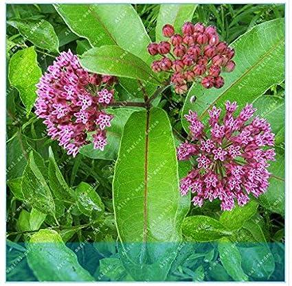 Amazon Com Milky Trees Attract Butterfly Bonsai Home Garden Plants
