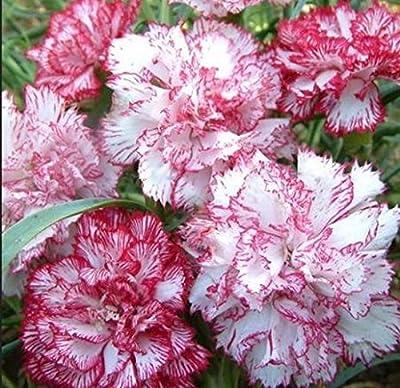 Seeds flowers Dianthus caryophyllus shabo mix from Ukraine 0.2 gram