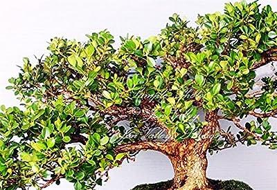 Quercus virginiana Live Oak Tree Seeds Bonsai