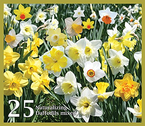 Mixed Daffodils (25 Bulbs) - Assorted Colors Daffodil Narcissus ()