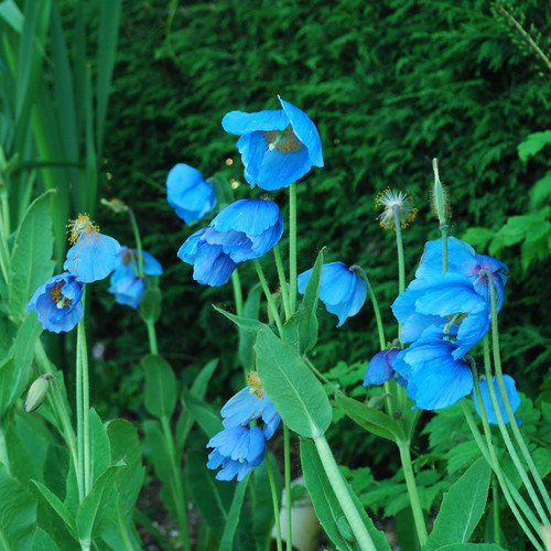 Meconopsis Lingholm Plant World Seeds ex Grandis Seeds