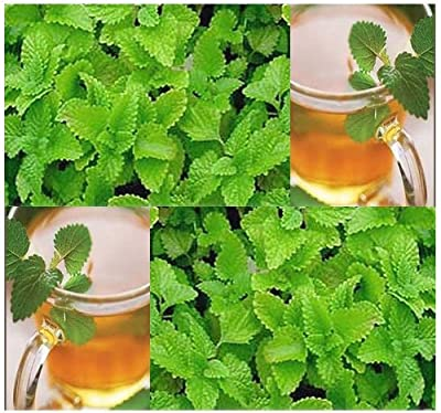 500 x LEMON BALM SEED - Melissa officinialis Seeds - Attracts BEES&BUTTERFLIES - Makes Great Tea - Perennial Herb Zones 4-9 - By MySeeds.Co