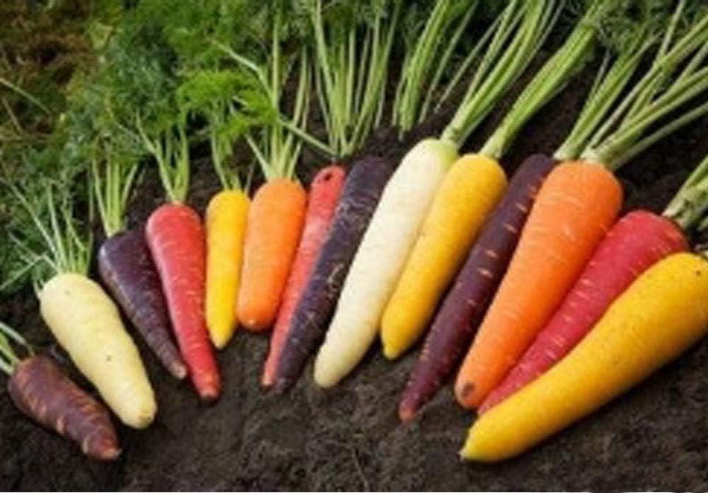 30pcs Semilla Zanahorias Orgánicas Semillas Vegetales Zanahoria ...