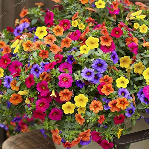 (200pcs Hanging Petunia Mixed Seeds Color Waves Beautiful Flowers for Garden Plant)