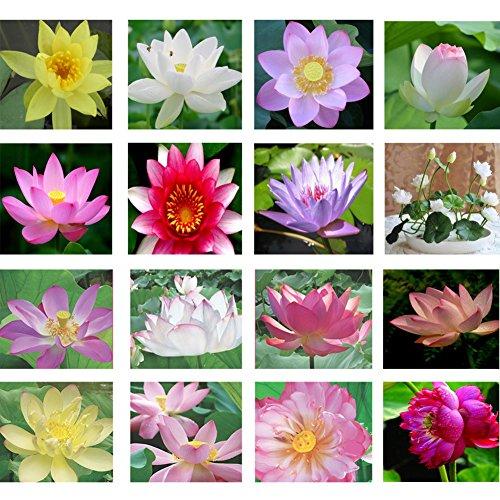 adarl-10pc-package-multi-lotus-seeds-ornamental-plants-seeds-courtyard-garden-with-flower-seeds-prof