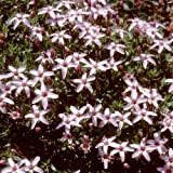 Plant World Seeds - arenaria purpurascens Seeds