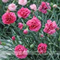 ADB Inc Hardy Perennial Dianthus 'Scents of Summer Pink Peony' Carnation Flower Seeds