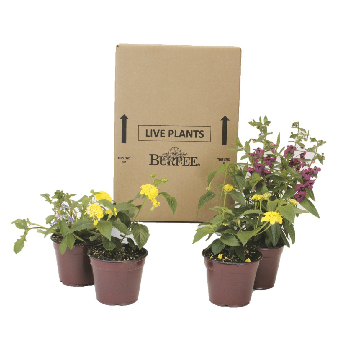 Burpee Combo 'Daydream' - Create Instant Colorful Container Gardens with Four 4 in. pots
