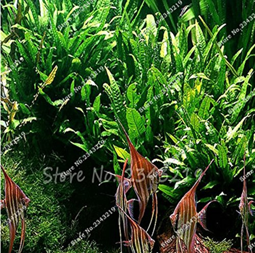 Hot Sale! 1000 Pcs/bag Mini Dwarf Pearl Plants Aquarium Grass Seeds Fish Tank Decoration Ornamental Aquatic Plants Seeds for home garden (Decorative Tree Stumps For Sale)
