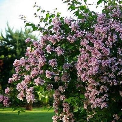 Beauty Bush Seeds (Kolkwitzia amabilis) 25+Seeds : Garden & Outdoor