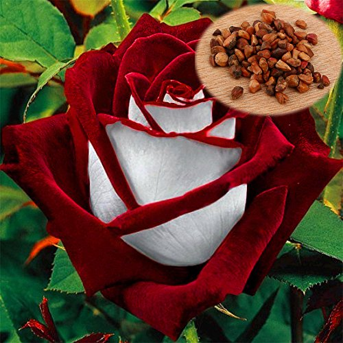 Holiday Surprise Bouquet (200 Pc Germany Rare Chocolate Rose Seeds, the Lover Rose Seed Bonsai Planting Roses)