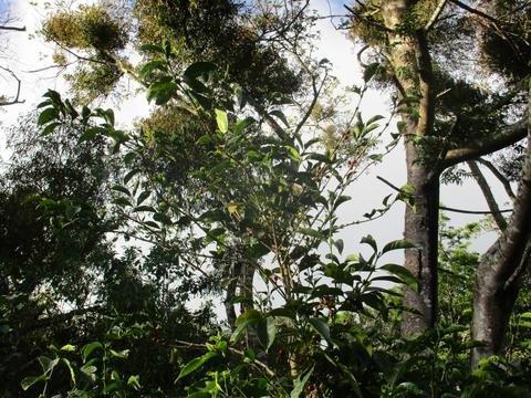 5 Lbs Guatemala Finca Santa Felisa GEISHA Unroasted Green Coffee Beans