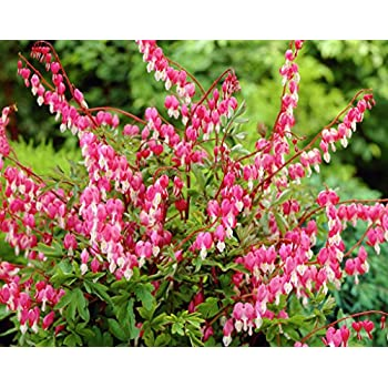 Amazon bleeding heart pink dicentra spectabilis plant bleeding heart pink dicentra spectabilis plant perennial 25 potted 1 plant mightylinksfo