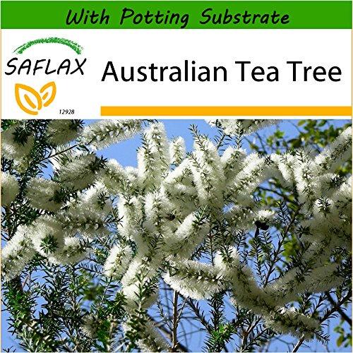 SAFLAX - Australian Tea Tree - 400 Seeds - with Soil - Melaleuca alternifolia (Tea Australian Tree Plant)