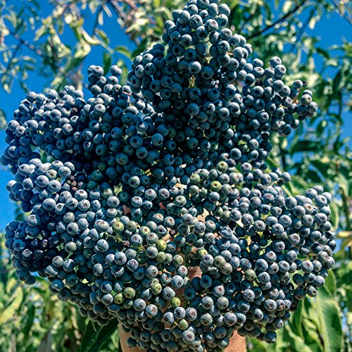 (All Good Things Organic Seeds Mexican Elderberry Tree (Sambucus nigra caerulea) Seeds (~50): Certified Organic, Non-GMO, Heirloom, Open Pollinated Seeds from the United States)