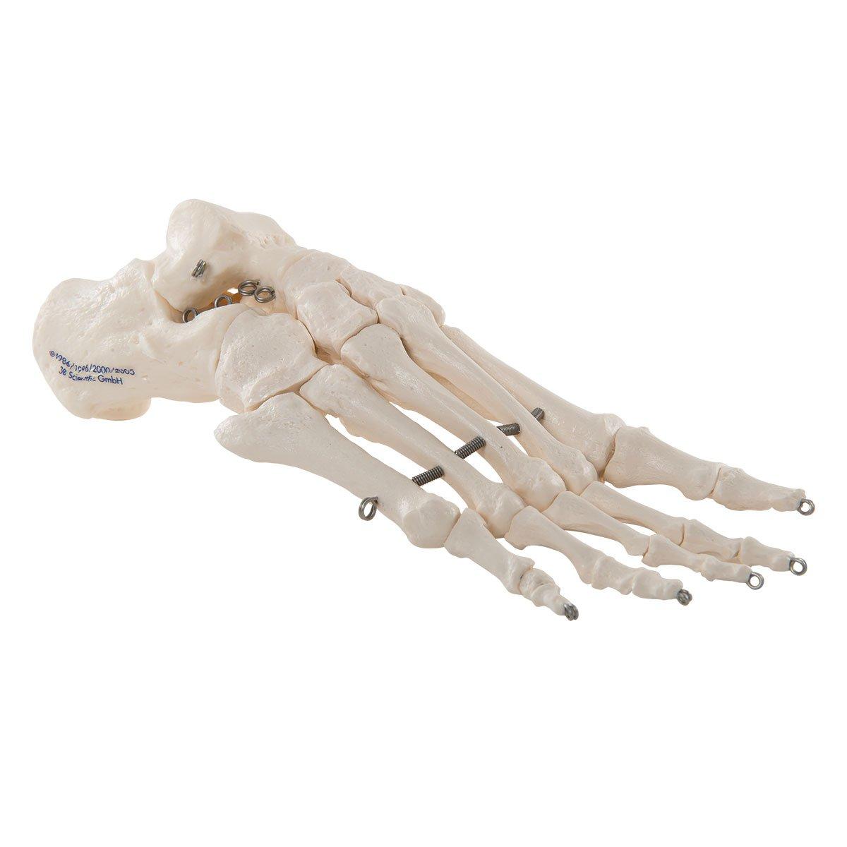 3B Scientific Menschliche Anatomie - Fußskelett auf Draht gezogen ...