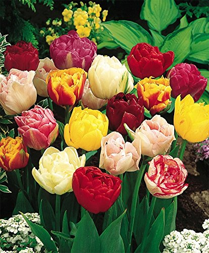 12 DOUBLE EARLY TULIP BULBS - MIXTURE- ORDER for FALL PLANTING