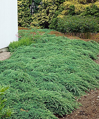 Creeping Juniper - Prince of Wales - 30 Live Plants in 4'' Containers - Evergreen Groundcover by Florida Foliage (Image #8)